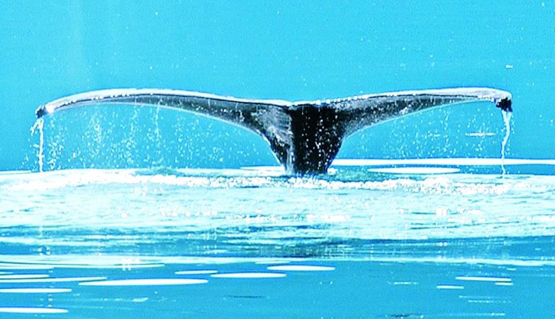 Alaska, Wildlife, Whale Tail